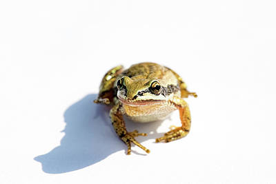 Photograph - Western Chorus Frog 02 by Josh Bryant
