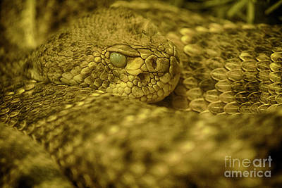 Photograph - Western Diamondback Rattlesnake by Anne Rodkin