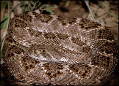 Photograph - Western Diamondback Rattlesnake by Elaine Malott