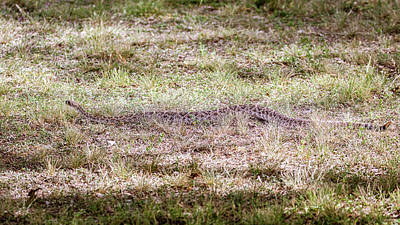 Photograph - Western Diamondback Rattlesnake Slithering Along by Debra Martz