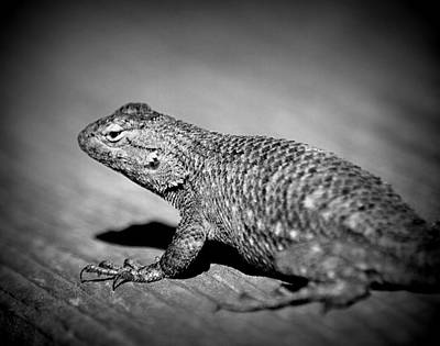 Photograph - Western Fence Lizard B-w by Kimberly-Ann Talbert