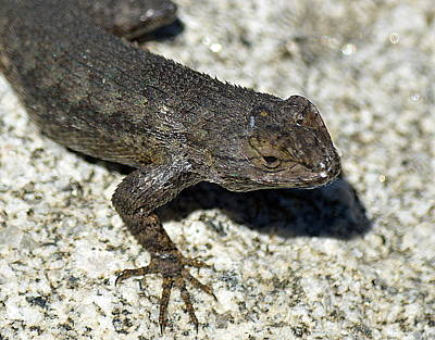 Photograph - Western Fence Lizard by Kimberly-Ann Talbert