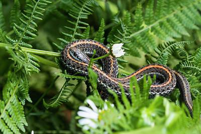 Photograph - Western Garter Snake by Robert Potts