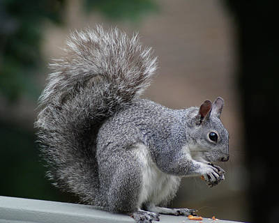 Photograph - Western Gray Squirrel #1 by Ben Upham III