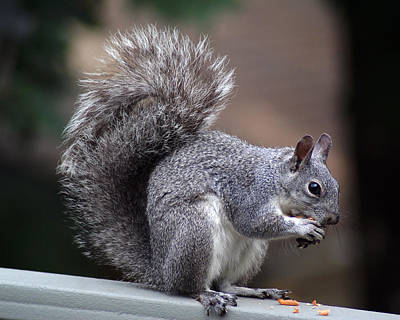 Photograph - Western Gray Squirrel #2 by Ben Upham III