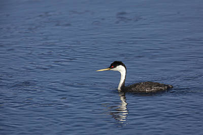 Photograph - Western Grebe In Late Afternoon Light by David Watkins