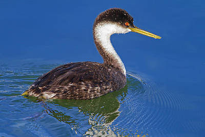 Photograph - Western Grebe by Mark Miller