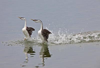 Mating Dance Digital Art - Western Grebe On Lake by Mark Duffy