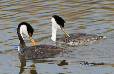 Photograph - Western Grebes by Mike Fitzgerald