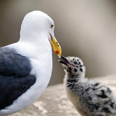 Photograph - Western Gull Beak-to_beak With Her Chick by William Bitman