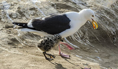 Photograph - Western Gull Chick Walking With Mom by William Bitman
