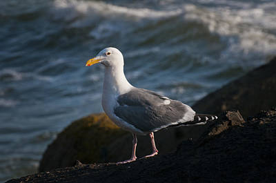 Photograph - Western Gull In The Light by Robert Potts