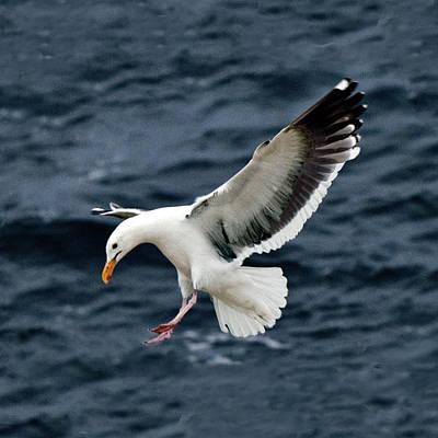 Photograph - Western Gull Landing by William Bitman