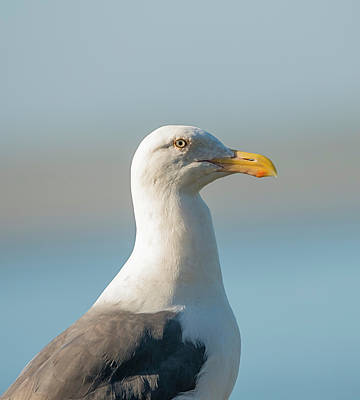 Photograph - Western Gull Portrait by Loree Johnson