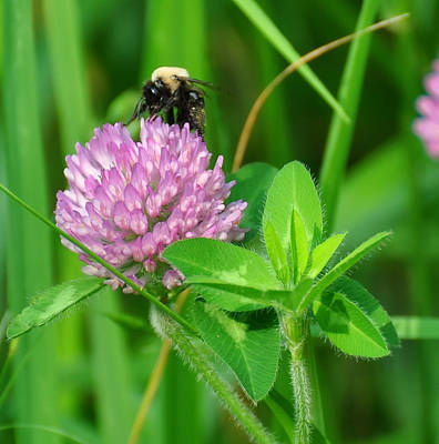 Digital Art - Western Honey Bee On Clover Flower by Chris Flees