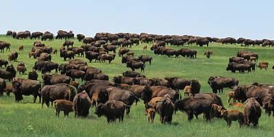 Photograph - Western Kansas Buffalo Herd by Keith Stokes