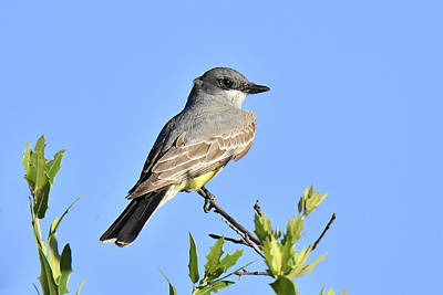 Photograph - Western Kingbird by Alan Lenk