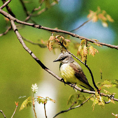 Photograph - Western Kingbird - Artistic by Bill Kesler