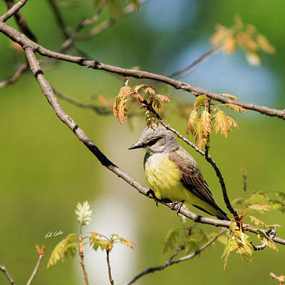 Photograph - Western Kingbird by Bill Kesler