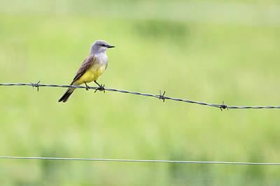 Photograph - Western Kingbird by Celine Pollard