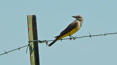 Photograph - Western Kingbird by Dan Miller