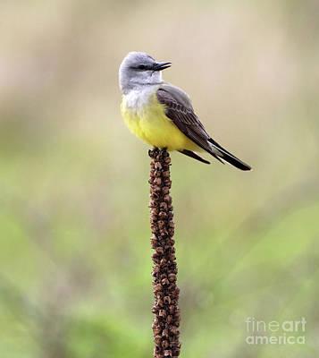 Photograph - Western Kingbird by Elizabeth Winter