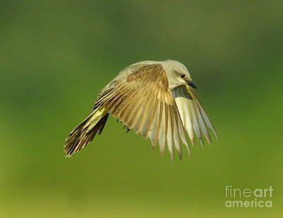 Kingbird Photograph - Western Kingbird Hovering by Robert Frederick