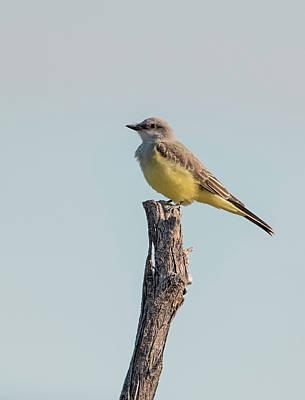 Photograph - Western Kingbird Perched by Loree Johnson