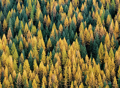Autumn Landscape Photograph - Western Larch Forest by Leland D Howard