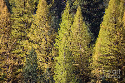 Photograph - Western Larch by Idaho Scenic Images Linda Lantzy