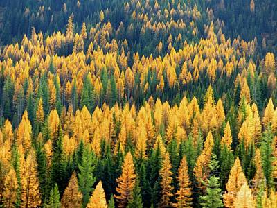 Photograph - Western Larch  by Jean Wright