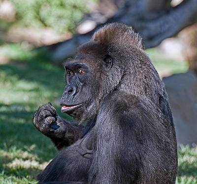 Photograph - Western Lowland Gorilla by Ginger Wakem
