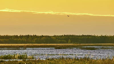 Photograph - Western Marsh Harrier At Puurijarvi by Jouko Lehto