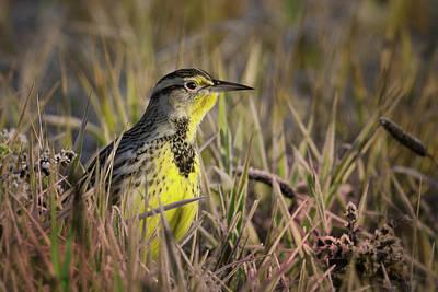 Photograph - Western Meadowlark by Craig Strand