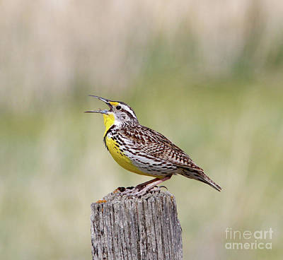 Wall Art - Photograph - Western Meadowlark by Gary Wing