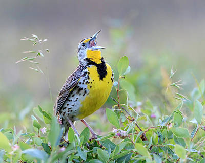 Photograph - Western Meadowlark by Jack Bell