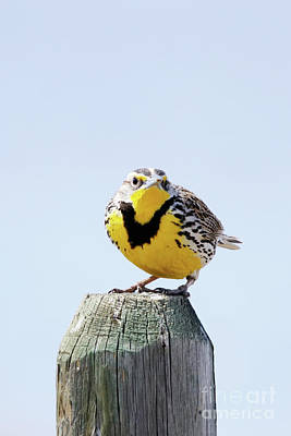 Photograph - Western Meadowlark On A Post by Alyce Taylor