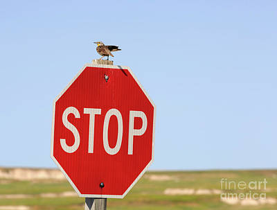 Western Meadowlark Singing On Top Of A Stop Sign Art Print by Louise Heusinkveld