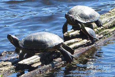 Photograph - Red-eared Slider Turtles by Frank Townsley