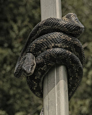 Photograph - Western Rat Snake by Philip A Swiderski Jr
