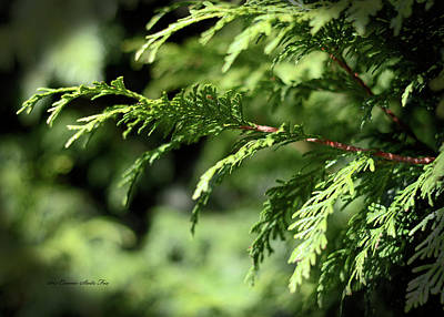 Photograph - Western Red Cedar. G Lumis by Connie Fox