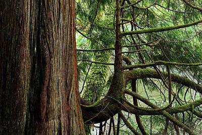 Photograph - Western Red Cedar by Robert Potts