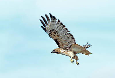 Photograph - Western Red-tailed Hawk by Jim Zablotny