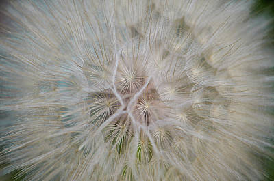Photograph - Western Salsify by Amanda Rimmer