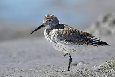 Photograph - Western Sandpiper by Alan Lenk