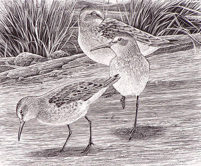 Sandpiper Drawing - Western Sandpipers by Shari Erickson