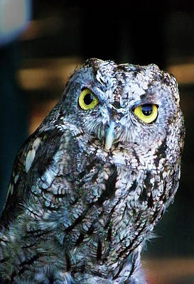 Photograph - Western Screech Owl by Anthony Jones