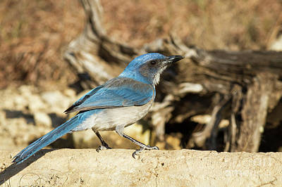 Photograph - Western Scrub Jay by David Cutts