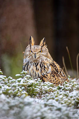 Photograph - Western Siberian Owl by David Hare