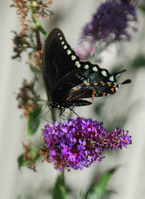 Photograph - Western Swallowtail Butterfly by Kathleen Stephens